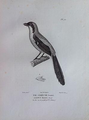 Pie-Gréche Bentet Java Etching 1830 Ornithology Birds Centurie Zoologique