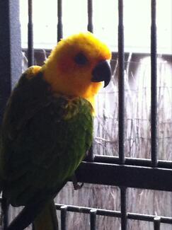 Jenday sun conure parrot/bird