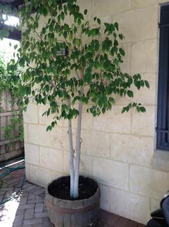Ficus trees Fremantle Fremantle Area Preview
