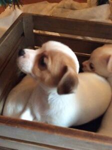 REDUCED! Chihuahua puppies