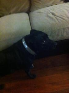 English Staffordshire  female 3.5 yrs old Scarborough Redcliffe Area Preview