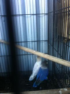 adorable female masked lovebirds for sale $40 each Labrador Gold Coast City Preview