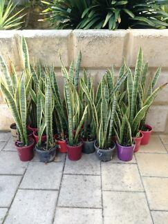 Plants : Sansevieria (Mother in law tongues) $5/pot Connolly Joondalup Area Preview