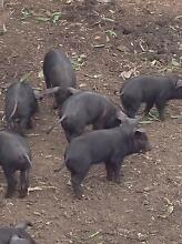 Cross large black pigs Bidwill Blacktown Area Preview