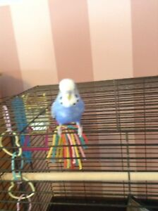 3 year old trained budgie !!!