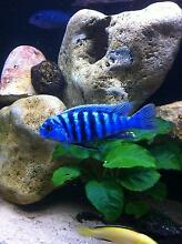 Zebra Cichlid Fry Athelstone Campbelltown Area Preview