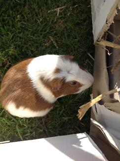 Two Chubby Male Guinea Pigs 2 Yrs Old St Marys Penrith Area Preview