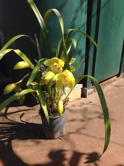 CYMBIDIUM ORCHIDS POTTED & CURRENTLY FLOWERING, VARIOUS COLOURS Delahey Brimbank Area Preview