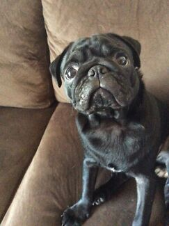 Wanted: Female pug needed