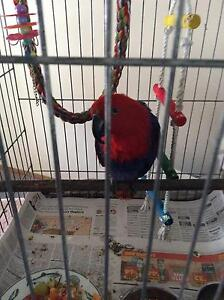 Electus Female Parrot Blanchetown Mid Murray Preview