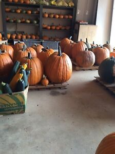 PUMPKINS ON PRITCHARD FARM ROAD/UNDER SHELTER/BEST PRICES AROUND