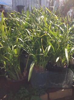 Cymbidium Orchids Potted, Not Flowering, Over 80 Pots To Sell! Delahey Brimbank Area Preview