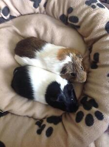 Two male Guinea pig and hutch North Brighton Holdfast Bay Preview