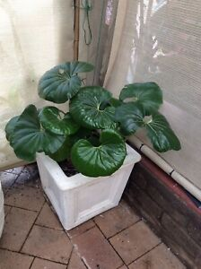 Tractor Seat Leaf Plant in Concrete Urn Pot O'Connor Fremantle Area Preview