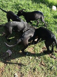 Stay/wolfhound x Dalmatian $250 Tumut Tumut Area Preview