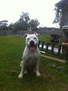 Zeus fully trained guard dog desexed and immunised North Nowra Nowra-Bomaderry Preview