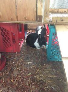 Dwarf bunnies for sale.