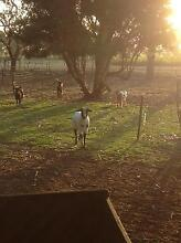 Mini goats for sale Langhorne Creek Alexandrina Area Preview