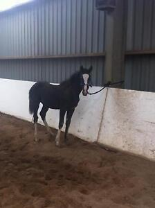 Gypsy Cob x Thoroughbred Filly Berwick Casey Area Preview