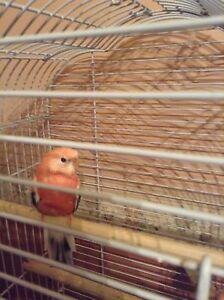 Pink and Yellow Back Rosa Bourke Parrot Males Warwick Southern Downs Preview