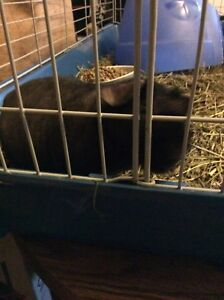 1 yr old Skinny pig for sale
