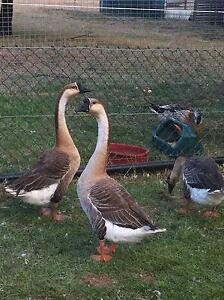 Chinese Brown Geese Gordon Moorabool Area Preview
