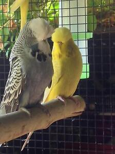 English show Budgies, aviary and breeding cages Singleton Singleton Area Preview