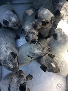 ####1 MALE BLUE HEELER LEFT HEALTHY AND STRONG##### Duncraig Joondalup Area Preview