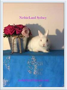 Australia's Smallest Pet Rabbit The Netherland Dwarf For Sale ❤ Roseville Ku-ring-gai Area Preview