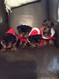 Straight Yorkshire terrier s, adoptable now