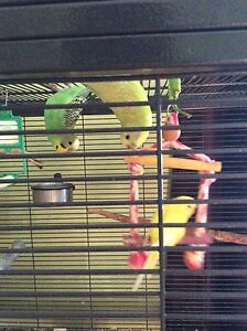 Selling budgies for $30 each