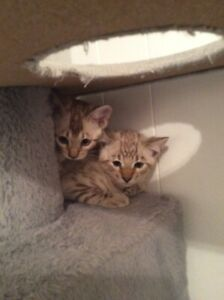 Bengal kittens for sale!!!
