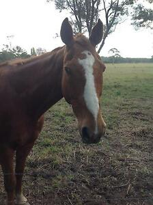 Quarter horse gelding for sale Taree Greater Taree Area Preview