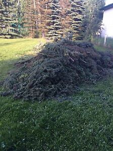Free spruce boughs