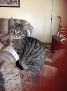 Two Male 5 Month Kittens Undesexed Parafield Gardens Salisbury Area Preview