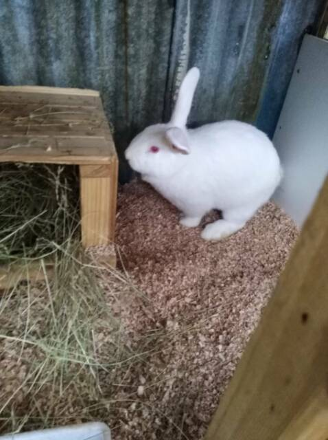 Flemish Giant Doe Rabbit Rabbits Gumtree Australia