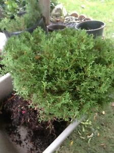 Evergreen plant for sale