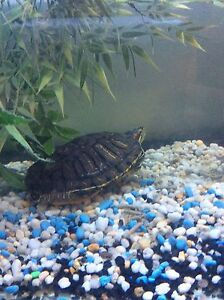 Turtle for sale 200 obo need gone before 4