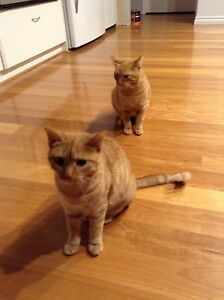 2 x Ginger Tabby Kittens, 7mths Connolly Joondalup Area Preview