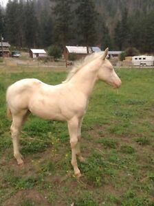 NEWBEE CREMELLO  STUD COLTS