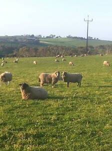 PREGNANT EWES Victor Harbor Victor Harbor Area Preview