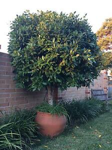 Moreton Bay Fig Tree in pot Wellington Point Redland Area Preview