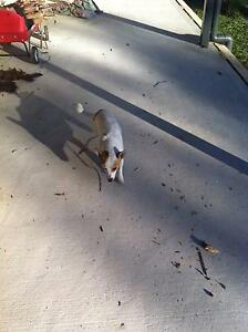 Jack Russell Free to a good Home Kellyville Ridge Blacktown Area Preview