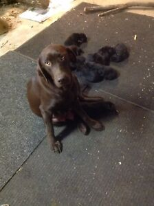 Brown Lab/Black Lab puppies for sale