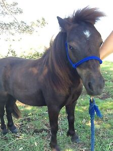 Miniature Colt horse (Jay-T) Krambach Greater Taree Area Preview