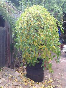 Standard weeping Mulberry tree Lesmurdie Kalamunda Area Preview