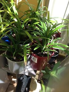 Liriope & Moses in pots North Perth Vincent Area Preview