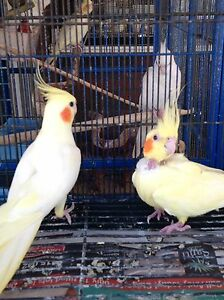 Cockatiel Lutino pair aviary birds Warwick Joondalup Area Preview