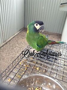 Yellow collared macaw pair $6500ono Tamworth Tamworth City Preview