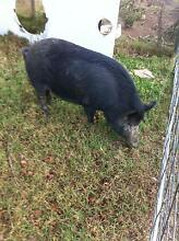 Miniature breed female pig Menangle Wollondilly Area Preview